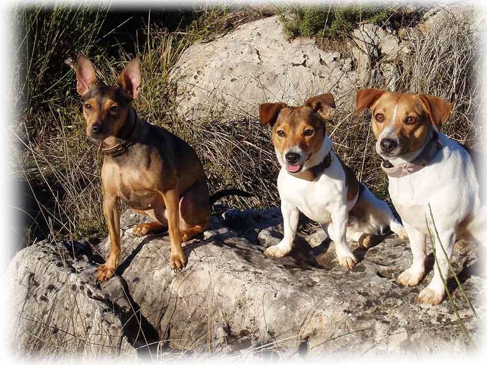 Respecter les ordres parmi d'autres chiens